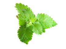Verse groene munt Stock Foto's