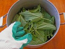 Verse groene netel in kom met hand voor voorbereiding stock foto