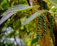 Verse groene paprika Piper Nigrum op de boom royalty-vrije stock fotografie