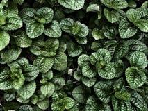 Verse Groene Pepermuntbladeren op de Donkere achtergrond Stock Foto