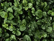 Verse Groene pepermuntbladeren op de donkere lichte achtergrond Royalty-vrije Stock Foto's