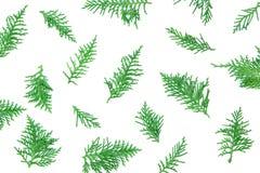 verse groene pijnboombladeren, Oosterse die Arborvitae, Thuja-orientalis ook als Platycladus-de textuurachtergrond FO wordt beken Stock Foto's