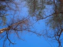 Verse groene pijnboomboom en droge boom die naar blauwe hemel bereiken Mening van grond omhoog Royalty-vrije Stock Afbeeldingen