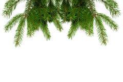 Verse groene pijnboomtakken Stock Afbeelding