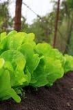 Verse groene salade Stock Afbeeldingen