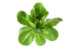 Verse groene salade royalty-vrije stock afbeelding