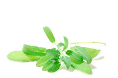 Verse groene salvia Royalty-vrije Stock Foto's