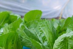 Verse groene sla in het hydroponic landbouwbedrijf Royalty-vrije Stock Fotografie