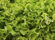 Verse groene sla salat op houten achtergrond Gezond voedsel Stock Foto