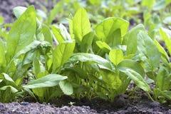 Verse groene spinazie op tuin Stock Afbeeldingen