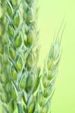 Verse groene tarwe Royalty-vrije Stock Fotografie