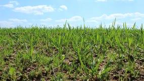 Verse groene tarwespruiten op het gebied in de lente Het begin van gewassen, het seizoen van het kweken van groenten royalty-vrije stock foto's