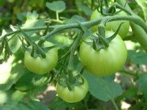 Verse groene tomaten Stock Foto's