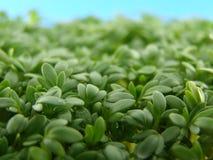 Verse groene tuinkers stock afbeelding