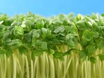 Verse groene tuinkers stock afbeeldingen