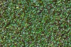 Verse groene tuinkers Royalty-vrije Stock Foto