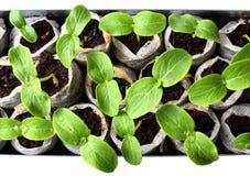 Verse groene zaailingen Stock Fotografie