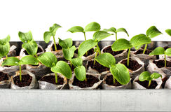 Verse groene zaailingen Stock Foto