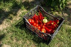 Verse groenten van de tuin Royalty-vrije Stock Foto's