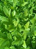 Verse groentextuur Stock Fotografie