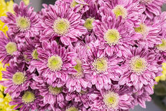 Verse grote roze chrysantenclose-up royalty-vrije stock afbeelding