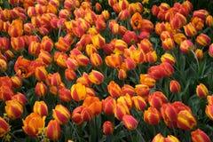 Verse Heldere rode tulpen met een tint van geel in Lisse, Keuken royalty-vrije stock foto