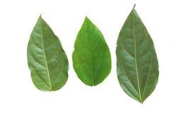 Verse het Bamboegras of Bai Ya Nang Leaves Colebr van Tiliacoratriandra Zijn de Kruiden en Plantaardige uittreksels van het Diels stock afbeelding
