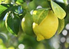 Verse het groeien citroen Stock Foto
