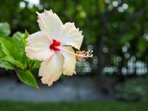 Verse hibiscusbloem Stock Afbeelding