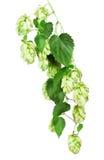 Verse hop Royalty-vrije Stock Afbeelding