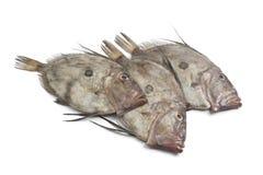 Verse John Dory vissen Stock Fotografie