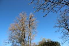 Verse Jonge Bladeren en het Bloeien Witte Sakura royalty-vrije stock afbeelding
