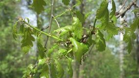 Verse jonge groene eiken bladeren in helder zonlicht, prores lengte stock videobeelden