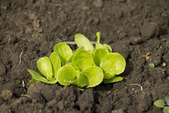 Verse jonge groene salade ter plaatse Stock Foto