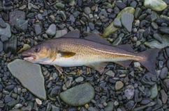 Verse kabeljauwvissen op steenachtige kust van fjord Noorwegen royalty-vrije stock foto