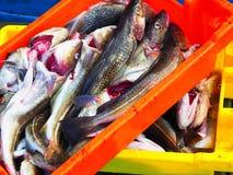 Verse Kabeljauwvissen van een Vissersboot royalty-vrije stock foto's