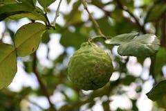 Verse kaffirkalk op boom met groene bladerenachtergrond, Bergamot een citrusboom van Zuidoost-Azië met groen fruit stock afbeelding