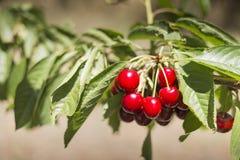 Verse kers van boomgaard Royalty-vrije Stock Afbeeldingen