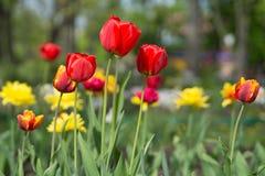 Verse kleurrijke bloeiende rode en gele tulpen in warm zonlicht in de lenteweide Royalty-vrije Stock Afbeeldingen