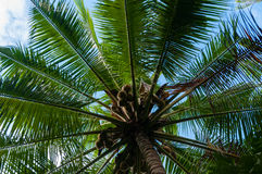 Verse Kokosnoten op een groene Palm Royalty-vrije Stock Foto's