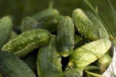 Verse komkommers die in emmer op groen gras leggen Royalty-vrije Stock Fotografie