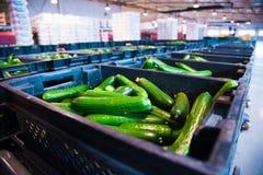 Verse komkommers op plantaardige verwerkingsfabriek Stock Foto