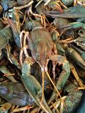 Verse krabben Stock Foto's