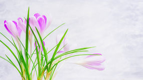 Verse krokussenbloemen op lichte achtergrond, zijaanzicht Stock Foto