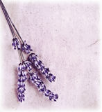 Verse lavendelbloemen op roze achtergrond Stock Afbeeldingen