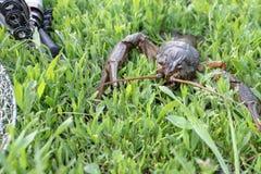 Verse levende kanker op groen gras dichtbij hengels stock foto's