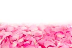 verse lichtrose nam bloemblaadjeachtergrond met de daling van de waterregen toe Royalty-vrije Stock Fotografie