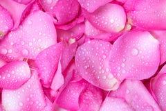 verse lichtrose nam bloemblaadjeachtergrond met de daling van de waterregen toe Stock Foto