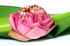 Verse lotusbloem stock foto's
