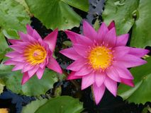 Verse lotusbloembloem Royalty-vrije Stock Afbeelding